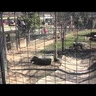 Video: Woman Jumps Into Tiger Cage To Get Lost Hat