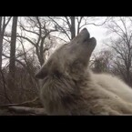 Laziest Wolf Howl Ever