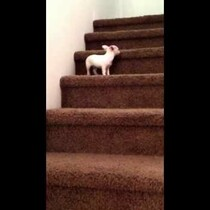Chihuahua Pup Tries To Get Down Stairs (Your Dose of Cuteness)