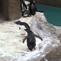 Get Ready To Say AWWWW: Penguins Chasing A Butterfly