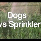 FUN: Pet Pooches Enjoy the SPRINKLER!