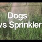 FUN: Pet Pooches Enjoy the SPRINKLER!