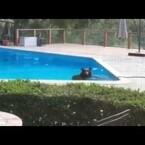 WATCH: Bear Takes A Dip In A California Pool.