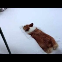 WATCH: Corgi belly flops in snow