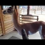 Fiesta the Llama LOVES the Leaf Blower !