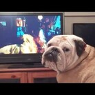 WATCH Bulldog Reacts Adorably To Scary Movie