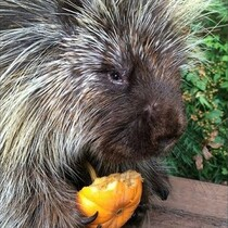 My Talking Porcupine!