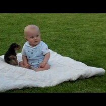 Yorkie puppy attacks a baby...and likes it.