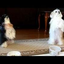 WATCH: Dogs Pray Before Dinner