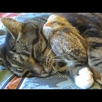 You call yourself a cat! You shouldn't snuggle with dinner (video)
