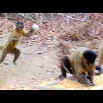 Female Capuchin Monkeys Flirt By Throwing Stones