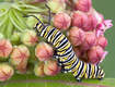 Milkweed Plants for Butterflies