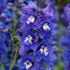 2016 is the Year of the Delphinium, Too!