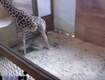 Why Live-Stream of Pregnant Giraffe Got Yanked Off YouTube (VIDEO)