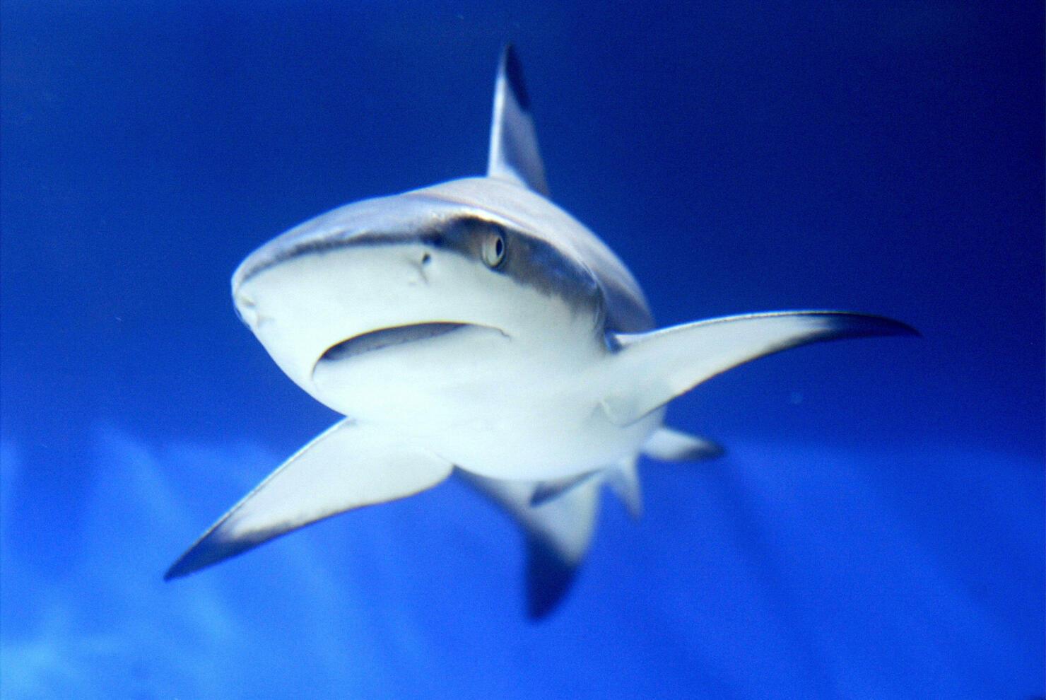 A shark is seen in an aquarium during th