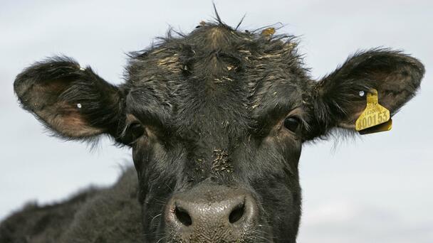 Grammy Award Winning Songwriter Diane Warren Saves Escaped Cow!