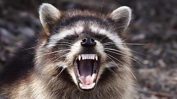 Monet Sutton - It's Starting... The Raccoon Revolution