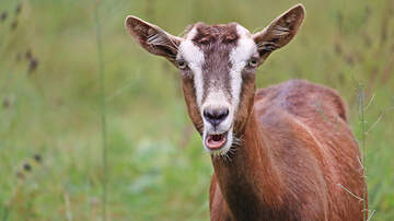 - Goat runs amok, hangs out in bars