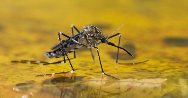 mosquito skeeter