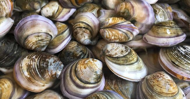 clams clam