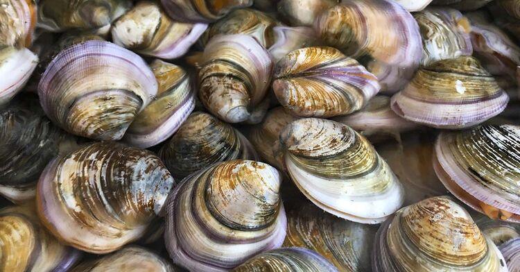 clams clam