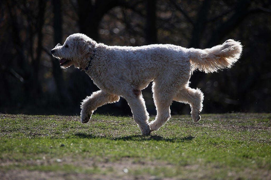 HUNTINGTON, NY - APRIL 21:  A Golden Doodle dog plays at Coindre Hall on April 21, 2014 in Huntington, New York.  (Photo by Bruce Bennett/Getty Images)