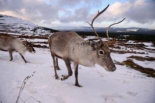 Santa's Reindeer Are Shrinking