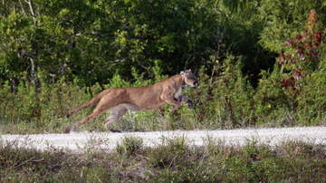 Florida News - Panthers And Bobcats Getting Sick