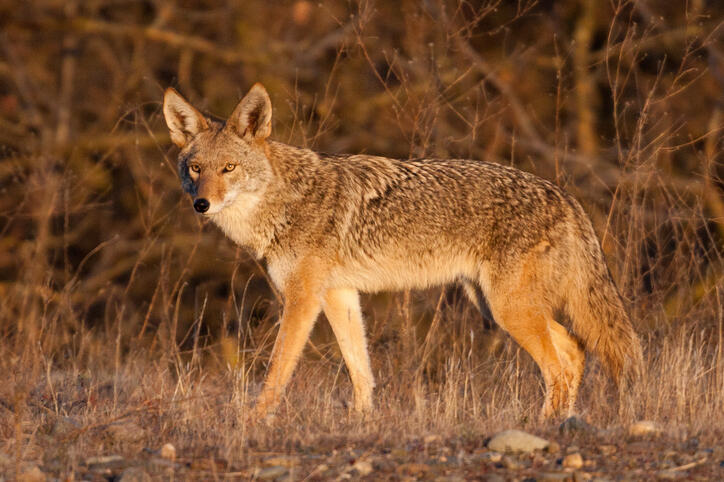 A coyote under the golden light near sunset along the American River parkway.The often unfortunate and unwilling target of man.  There is a very good expose on the killing of coyotes by the little known government agency Wildlife Services, as originally p