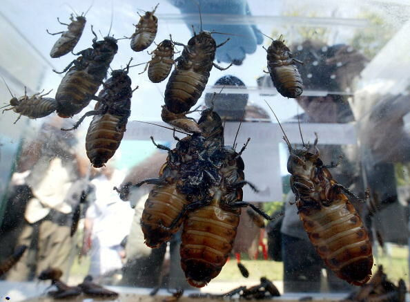 People look at giant African cockroaches
