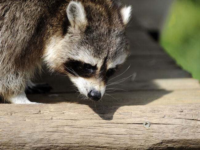 A raccoon is pictured at the zoo of Amne