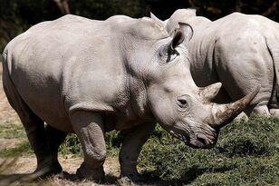 Rhinos Charge Car At Safari Park