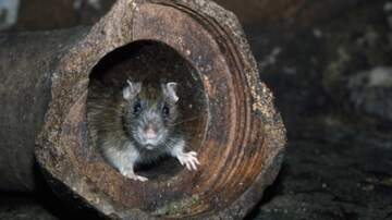 Cliff Bennett - Caught On Video: Mouse Cleans Up Shed!