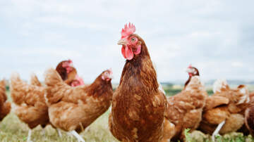 Simon Conway - CDC tells us not to kiss or snuggle chickens. Is this a problem for anyone?
