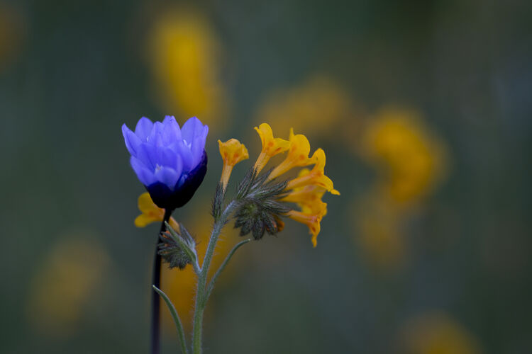 """Rare """"Super Bloom"""" Of Wildflowers Occurs In California Desert After Heavy Rain Falls"""