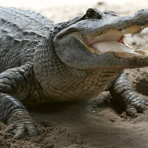 Battle of the Jaws: Study Finds Alligators Eat Sharks