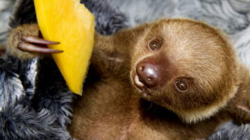 Florida News - Zoo Miami Welcomes First Baby Two-Toed Sloth