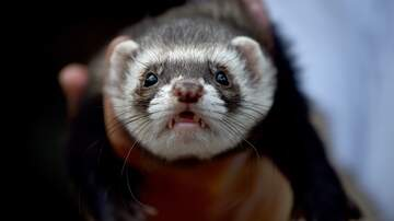 Amanda Flores - Southlake PD has recruited a ferret?
