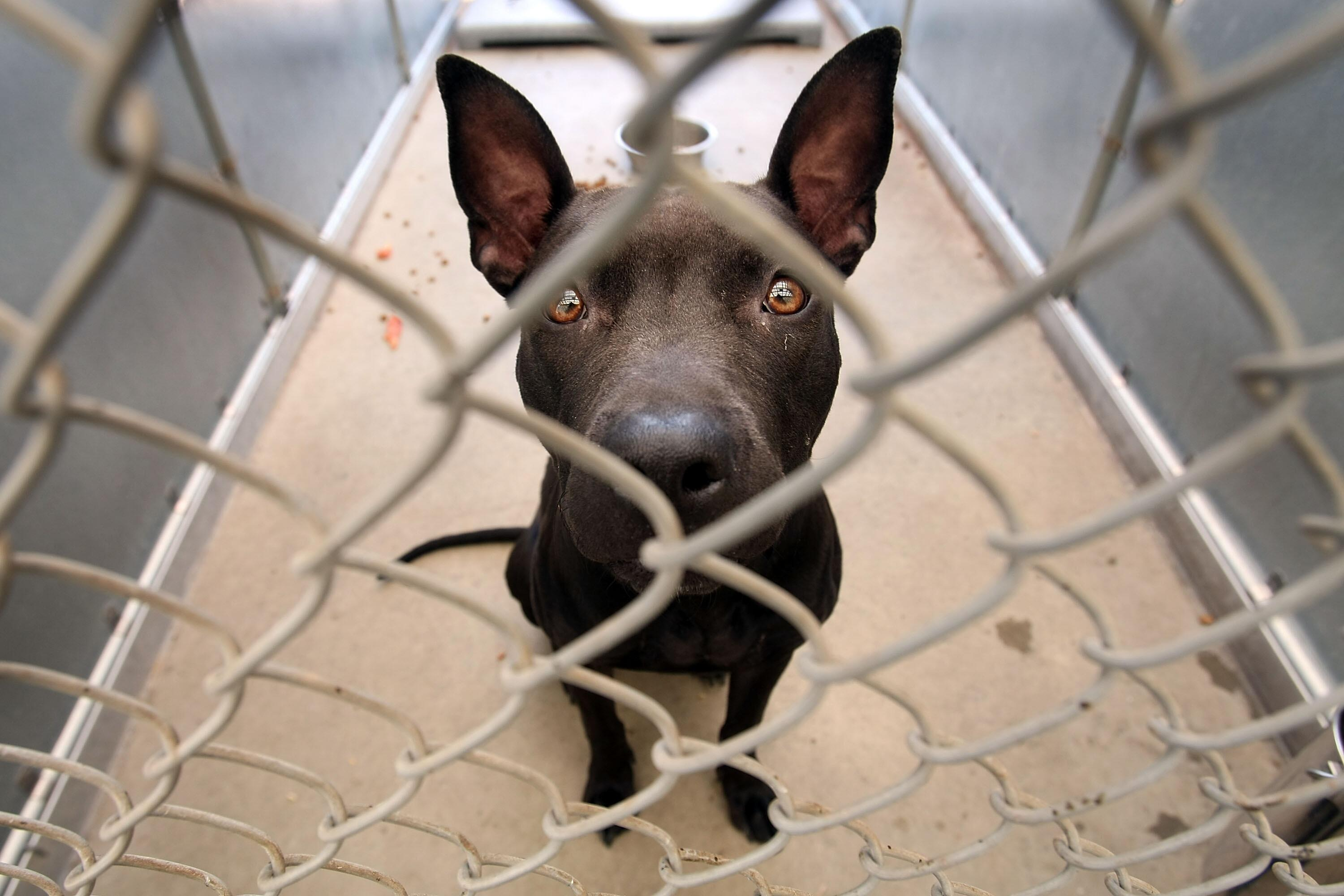 Rescued Pit Bulls Increasingly Populate Animal Shelters