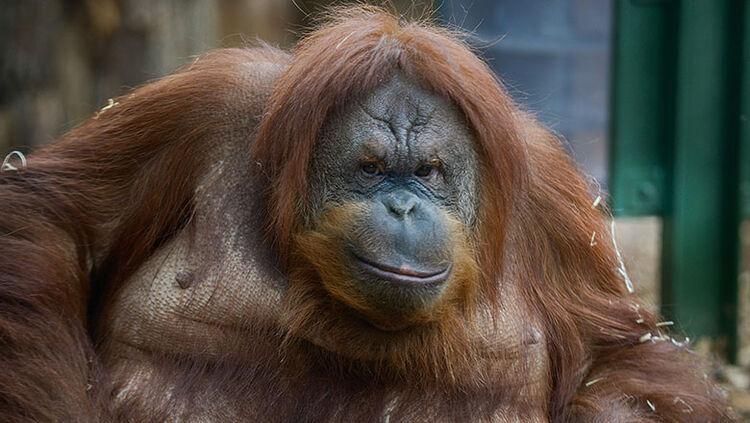 Rome Bioparco Opens A New Area For Orangutans