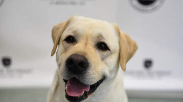 Jessica - *LIST* Once Again, Labrador Retriever Is America's Most Popular Dog