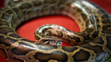 PET CENTRAL -  PET TAILS - This python is the family's pet, and their son rides it like a horse!
