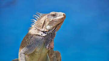 The Laurie DeYoung Show - Fighting Iguanas Cause Mayhem & Madness At Hotel Resort