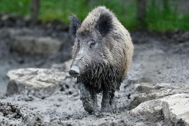 FRANCE-ANIMALS-BOAR
