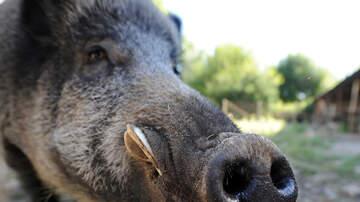 Brian Taylor - Hong Kong's Wild Boar Problem.