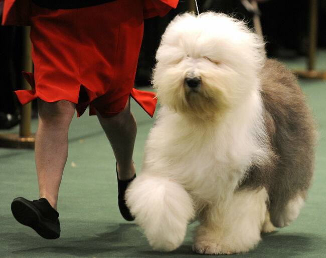 A Old English Sheepdog walks in the judg