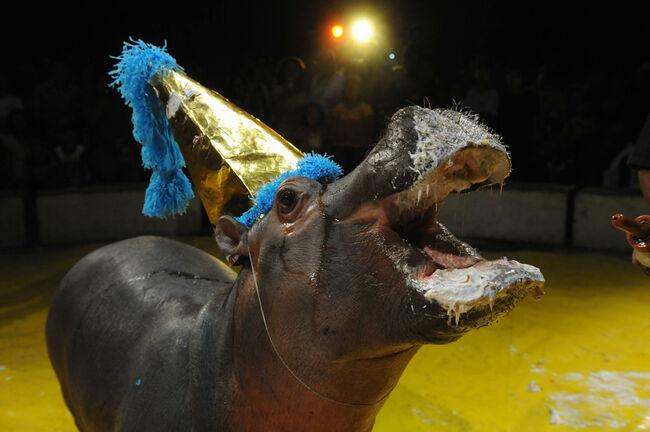 A hippopotamus called Bartolito is seen