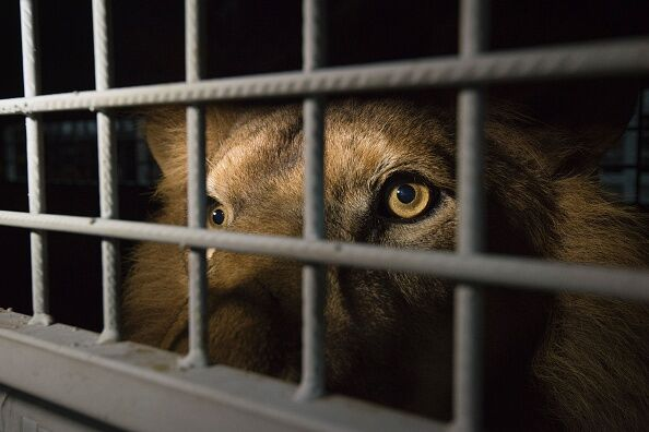 SAFRICA-PERU-COLOMBIA-WILDLIFE-LIONS-ANIMALS