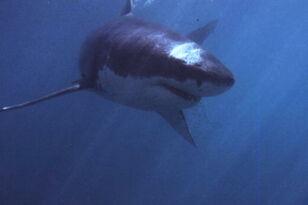 Large Shark Attacks Kayaker Off California Coast