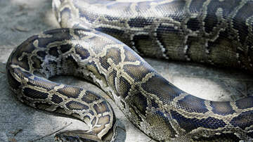 Hannah Mac - NEW RECORD: 150 Pound Python Caught